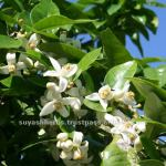 Essential_Oil_100_Pure_Neroli_Oil_in